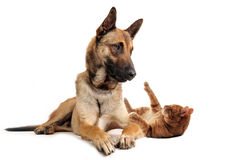 Malinois and ginger cat. Purebred belgian sheepdog malinoisand ginger cat on a white background Royalty Free Stock Image