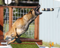 Malinois grabbing a toy while dock diving Royalty Free Stock Image