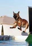Malinois Hund, der weg vom Dock springt Lizenzfreie Stockfotografie