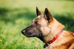 Malinois-Hund Sit Outdoors In Green Grass Stockbild