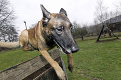 Malinois jumos over obstacle Royalty Free Stock Photos