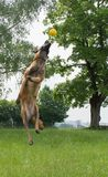 Malinois jumping and playing outside. Action shot of a beautiful malinois playing and jumping outside with his ball Royalty Free Stock Photos