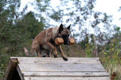 Malinois Stock Photography