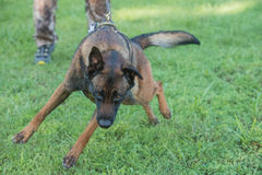 Malinois K9 being held back in training. Police K9 Malinois dog in training Royalty Free Stock Photo