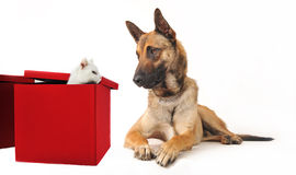 Malinois and kitten. Portrait of a purebred belgian sheepdog malinois and white kitten Royalty Free Stock Photo