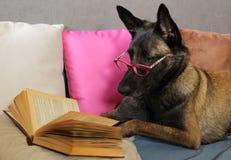 Malinois läser den belgiska fårhunden en bok med ett par av exponeringsglas på tysta ned som ligger på kuddar, i att täcka med en arkivfoto