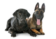Malinois and labrador retriever. Purebred belgian sheepdog malinois and labrador retriever on a white background Royalty Free Stock Photography