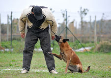 Malinois and man in attack Stock Photo