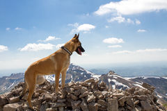A malinois in the mountain. A Belgian shepherd standing in front of the mountain Royalty Free Stock Photography