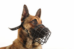 Malinois and muzzle. Portrait of a purebred belgian shepherd malinois withe his muzzle Stock Images