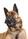 Malinois and muzzle. Portrait of a purebred belgian shepherd malinois withe his muzzle Stock Image
