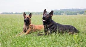 Malinois och lägga för hund för tysk herde arkivfoton