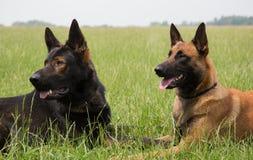 Malinois och lägga för hund för tysk herde arkivfoto