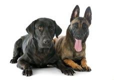 Malinois och labrador retriever royaltyfri fotografi