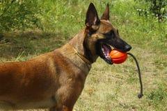 Malinois pies belgian psa baca zdjęcia stock