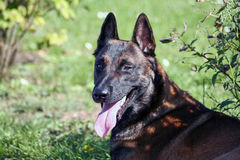 A malinois in portrait. A adorable Belgian shepherd in close up Royalty Free Stock Photography