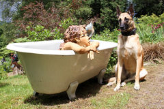 A malinois in portrait. A adorable Belgian shepherd with a siren in a bathtub Stock Photos