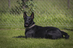Malinois. Portrait of a malinois belgian shepherd dog Stock Photos