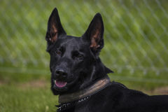 Malinois. Portrait of a malinois belgian shepherd dog Royalty Free Stock Photo