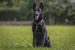 Malinois. Portrait of a malinois belgian shepherd dog Royalty Free Stock Images