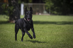 Malinois. Portrait of a malinois belgian shepherd dog Stock Image