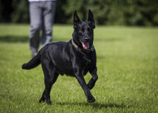Malinois. Portrait of a malinois belgian shepherd dog Stock Photo