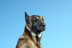 A malinois in portrait. A breed Belgian shepherd in close-up Royalty Free Stock Photo