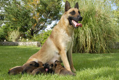 Malinois and puppies Royalty Free Stock Photos