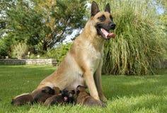 Malinois and puppies Royalty Free Stock Photos