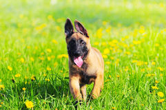 Malinois Puppy Dog 4 months old Belgian sheepdog. The Malinois Puppy Dog 4 months old Belgian sheepdog Royalty Free Stock Images
