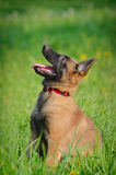 Malinois puppy in field. Malinois puppy sitting and looking attentively Royalty Free Stock Photography