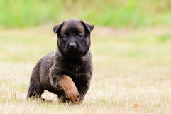 Malinois Puppy Royalty Free Stock Photos