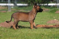 Malinois puppy portrait in the park. Small malinois puppy is standing in the garden Stock Photo