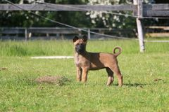 Malinois puppy portrait in the park. Small malinois puppy is standing in the garden Stock Photos