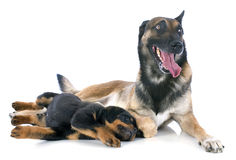 Malinois and puppy rottweiler. Portrait of a purebred puppy rottweiler and malinois in front of white background Royalty Free Stock Image