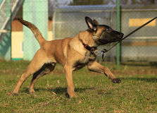 Malinois puppy. Run and play on the grass Royalty Free Stock Photo