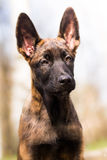 Malinois puppy in summer sunny park on the walk. Red malinois junior puppy in summer sunny park on the walk Stock Images