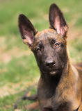 Malinois puppy in summer sunny park on the walk Royalty Free Stock Photography