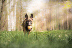 Malinois puppy in summer sunny park on the walk. Red malinois junior puppy in summer sunny park on the walk Royalty Free Stock Images