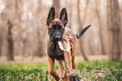 Malinois puppy in summer sunny park on the walk Stock Photo