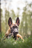 Malinois puppy in summer sunny park on the walk. Red malinois junior puppy in summer sunny park on the walk Stock Photo