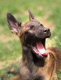 Malinois puppy in summer sunny park on the walk Royalty Free Stock Images
