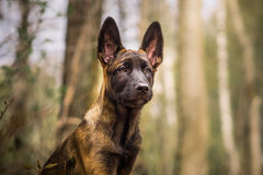 Malinois puppy in summer sunny park on the walk. Red malinois junior puppy in summer sunny park on the walk Royalty Free Stock Photography