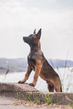 Malinois puppy in summer sunny park on the walk. Red malinois junior puppy in summer sunny park on the walk Royalty Free Stock Image