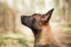 Malinois puppy in summer sunny park on the walk royalty free stock photos