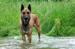 Malinois in river. Purebred belgian sheepdog malinois in a river Stock Photo