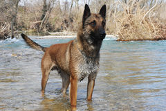 Malinois in river. Picture of a purebred belgian sheepdog malinois Royalty Free Stock Photos