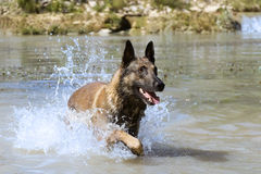 Malinois in the river. Picture of a purebred belgian sheepdog malinois in the river Stock Photography