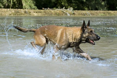 Malinois in the river. Picture of a purebred belgian sheepdog malinois in the river Stock Image