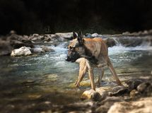 Malinois in river. Belgian shepherd malinois standing in the river Stock Images